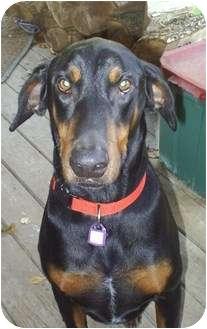 Doberman Pinscher Dog for adoption in cedar grove, Indiana - Max