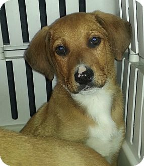 Labrador Retriever/Shepherd (Unknown Type) Mix Puppy for adoption in Chicago, Illinois - Sanders