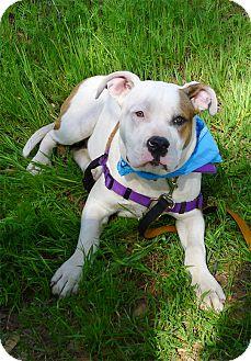 American Bulldog Puppy for adoption in Sacramento, California - Una so sweet