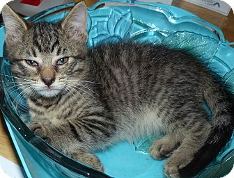 Domestic Shorthair Kitten for adoption in Lighthouse Point, Florida - Max