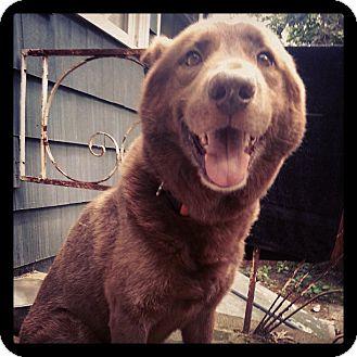 Labrador Retriever/Shepherd (Unknown Type) Mix Dog for adoption in Manhasset, New York - Bear