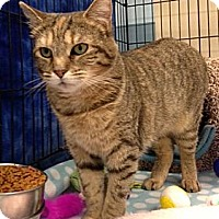 Domestic Shorthair Cat for adoption in Lutherville, Maryland - Baby
