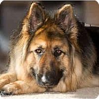 Adopt A Pet :: Zeus - Hamilton, MT