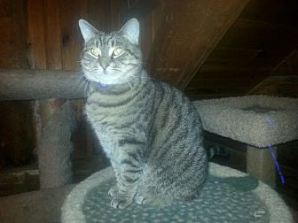 Domestic Shorthair Cat for adoption in Trexlertown, Pennsylvania - Georgette-New Pics!