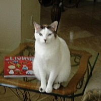 Domestic Shorthair Cat for adoption in Midway City, California - Comet