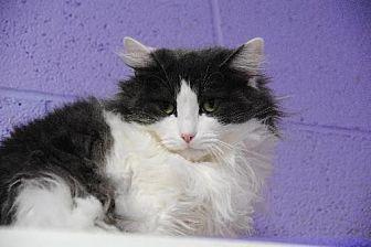 Domestic Mediumhair Cat for adoption in Atlanta, Georgia - Rosemary 12281