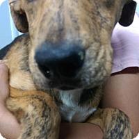 Adopt A Pet :: Golden male pup - Pompton Lakes, NJ