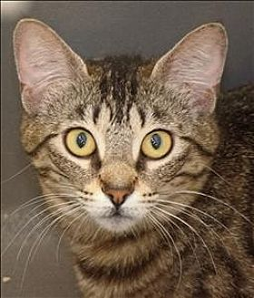 Domestic Shorthair Cat for adoption in Ft. Lauderdale, Florida - Bella