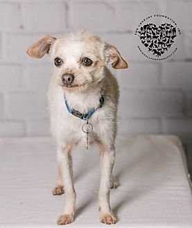 Terrier (Unknown Type, Small)/Poodle (Miniature) Mix Dog for adoption in Inglewood, California - Jiminy