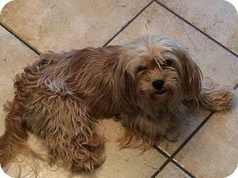 Shih Tzu Mix Dog for adoption in Homer Glen, Illinois - 427