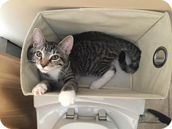 Domestic Shorthair Cat for adoption in Woodbury, New Jersey - Coccolinetto (CP)