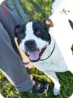 Staffordshire Bull Terrier Mix Dog for adoption in Schererville, Indiana - Ernie