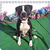 Labrador Retriever/Boxer Mix Dog for adoption in Marietta, Georgia - WILLY
