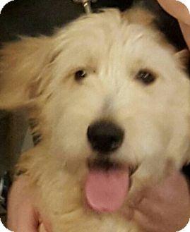 Poodle (Standard)/Golden Retriever Mix Puppy for adoption in Alpharetta, Georgia - Angie