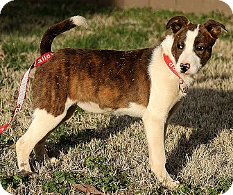 Boxer/Australian Cattle Dog Mix Puppy for adoption in Allentown, Pennsylvania - Harper