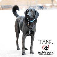 Adopt A Pet :: Tank - Council Bluffs, IA