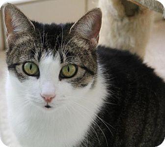 Domestic Shorthair Cat for adoption in Van Nuys, California - Dahlia