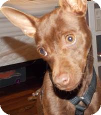 Chihuahua/Miniature Pinscher Mix Dog for adoption in San Diego, California - Lexi
