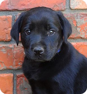 Labrador Retriever/Rottweiler Mix Puppy for adoption in Westport, Connecticut - *Brandon - PENDING