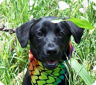 Labrador Retriever Puppy for adoption in Glastonbury, Connecticut - CAMMIE/Summer Special Pricing