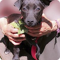 Adopt A Pet :: Ronnie pup girl - Sacramento, CA