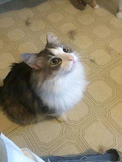 Domestic Mediumhair Cat for adoption in Clarkson, Kentucky - Fuzz