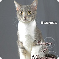 Domestic Shorthair Cat for adoption in Oklahoma City, Oklahoma - Bernice