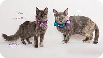 Russian Blue Cat for adoption in Corona, California - PALOMA