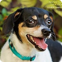Dachshund/Jack Russell Terrier Mix Dog for adoption in Cincinnati, Ohio - Taco - SPONSORED