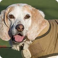 Adopt A Pet :: Copper - Toronto, ON