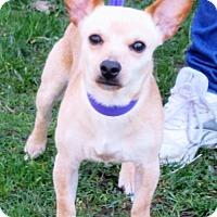 Adopt A Pet :: Pee Wee - Elkins, WV