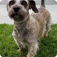 Adopt A Pet :: Milley - Los Angeles, CA