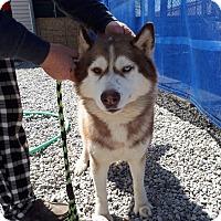 Adopt A Pet :: Chilli - Cavan, ON