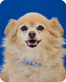 Pomeranian Mix Dog for adoption in Lodi, California - Lola
