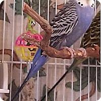 Adopt A Pet :: Elvis - Lenexa, KS
