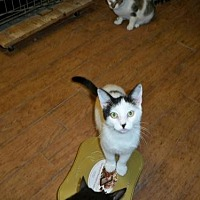 American Shorthair Cat for adoption in Land O Lakes, Florida - Spot