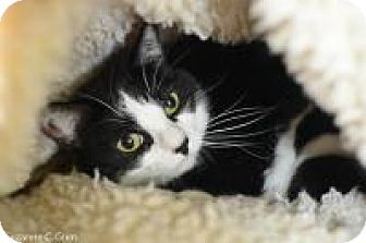 Domestic Longhair Cat for adoption in New Orleans, Louisiana - Guinevere