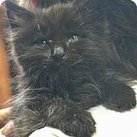 Adopt A Pet :: Mr. Handsome - Reston, VA