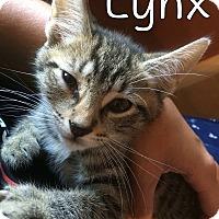 Adopt A Pet :: Lynx - Trevose, PA