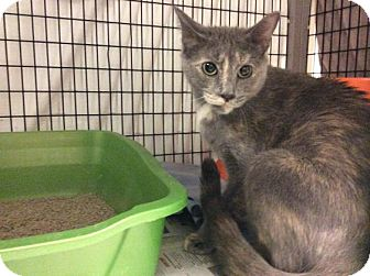 Domestic Shorthair Cat for adoption in Janesville, Wisconsin - Dyna