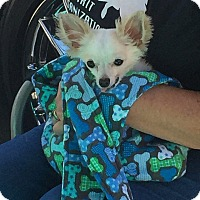 Chihuahua/Papillon Mix Dog for adoption in Fountain Valley, California - Jelly Bean