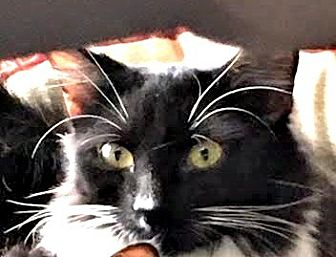 Domestic Longhair Cat for adoption in Burlington, North Carolina - ELONORA