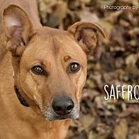 Adopt A Pet :: Saffron - Kansas City, MO