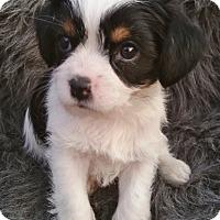 Adopt A Pet :: Roman - Bridgeton, MO