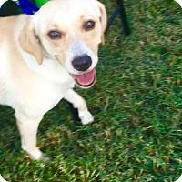 Labrador Retriever Dog for adoption in West Palm Beach, Florida - Daisy