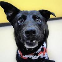 Adopt A Pet :: Bear - Little Rock, AR