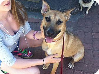 Belgian Malinois Mix Dog for adoption in Hancock, Michigan - Blue *Sponsored*