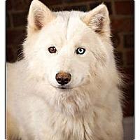 Adopt A Pet :: Snow - Owensboro, KY