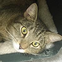 Domestic Shorthair Cat for adoption in Harrison, New York - Zoe