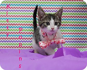 Domestic Shorthair Kitten for adoption in Bucyrus, Ohio - Kitty Poppins